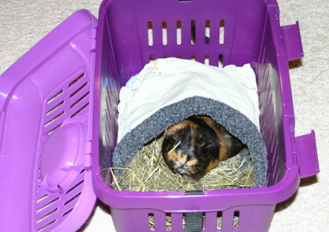 Meerschweinchen in Transportbox